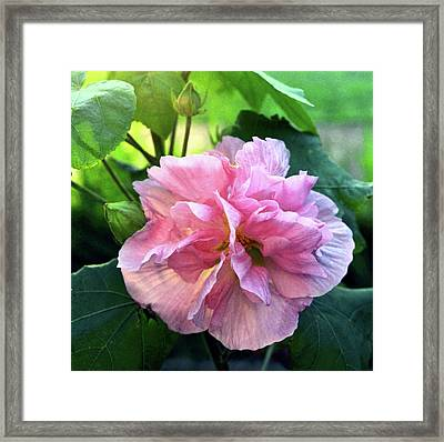Althea Rose Of Sharon Framed Print