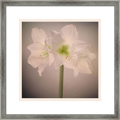 Amaryllis Flowers Framed Print by Nathan Blaney