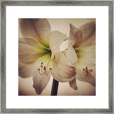 Amaryllis Framed Print by Nathan Blaney