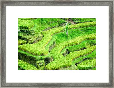 Framed Print featuring the photograph Amazing Rice Terrace Field by Luciano Mortula