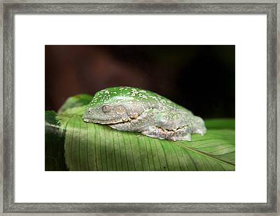 Amazon Leaf Frog Framed Print