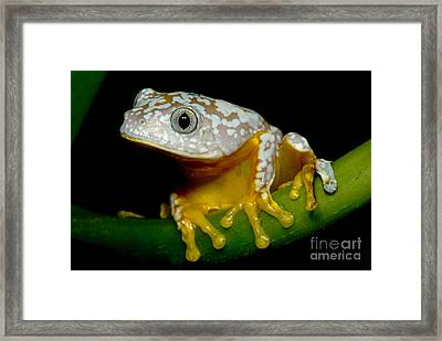 Amazon Leaf Frog Framed Print by Dante Fenolio