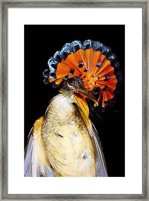 Amazonian Royal Flycatcher Framed Print by Dr Morley Read