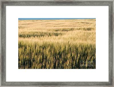 Amber Waves Of Grain Framed Print by Cindy Singleton