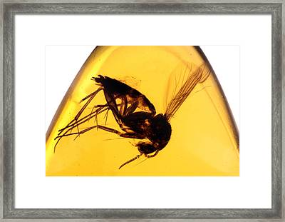 Amber With Insect Framed Print by Matteo Chinellato - ChinellatoPhoto