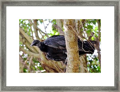 Framed Print featuring the photograph Amercan Black Vulture by Pravine Chester