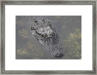 American Aligator Portrait Framed Print by Valia Bradshaw