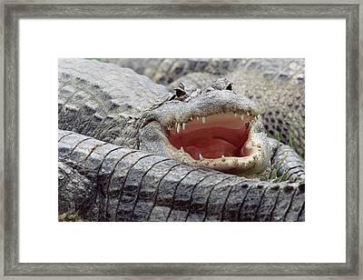 American Alligator Alligator Framed Print by Tim Fitzharris