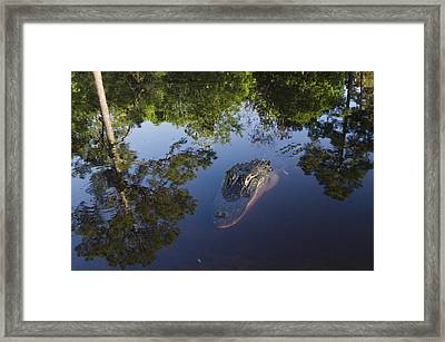 American Alligator In The Okefenokee Swamp Framed Print by Pete Oxford