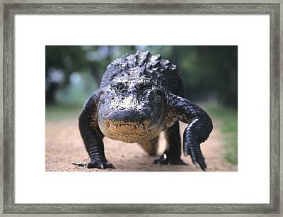 American Alligator Walking On A Trail Framed Print by Philippe Henry