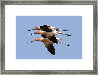 American Avocets Framed Print by Phil Lanoue