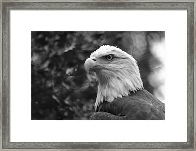 American Bald Eagle Framed Print by David Rucker
