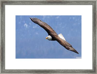 Framed Print featuring the photograph American Bald Eagle by Doug Lloyd