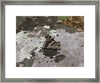 American Beauty Butterfly On Rock Framed Print