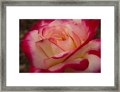American Beauty Rose Framed Print by Darleen Stry
