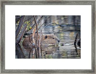American Beaver Framed Print by Ronald Lutz