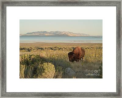Framed Print featuring the photograph American Bison Antelope Island Utah by Doug Herr