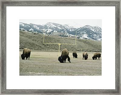 American Bison Bison Bison Graze Framed Print by Tom Murphy