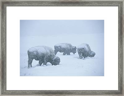 American Bison Graze During A Snowstorm Framed Print by Tom Murphy