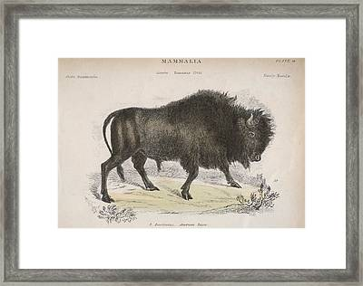 American Bison Framed Print by Hulton Archive