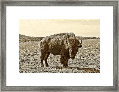 American Bison In Gold Sepia - Left View Framed Print by Tony Grider