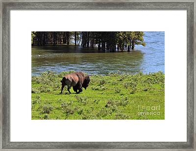 American Bison In The Lamar Valley Framed Print