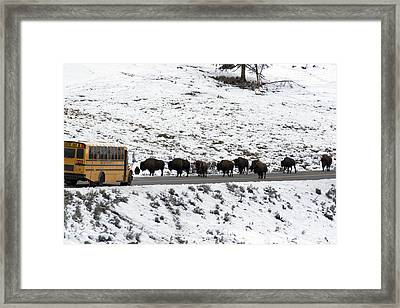 American Bison In The Road Halt Traffic Framed Print by William Allen