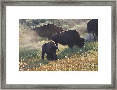 American Bison In Yellowstone Framed Print by Teresa Zieba