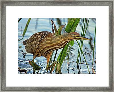 Framed Print featuring the photograph American Bittern by Larry Nieland