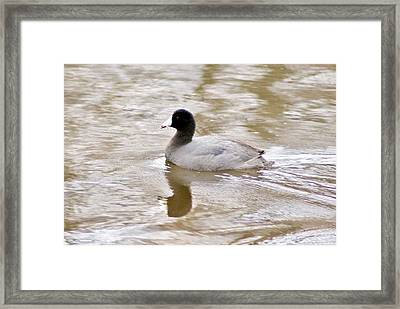 American Coot 1 Framed Print