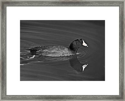 American Coot Framed Print by Bob and Nadine Johnston
