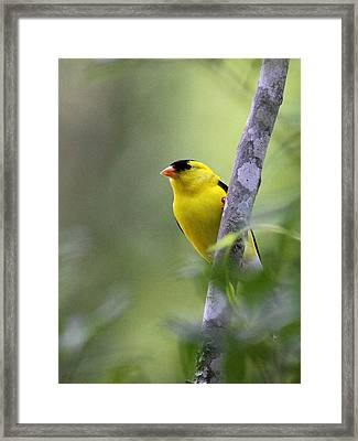 American Goldfinch - Peaceful Framed Print