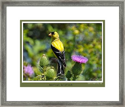 American Goldfinch 2  Framed Print
