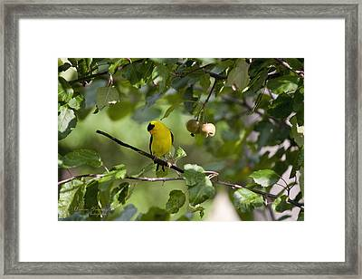 American Goldfinch And Crabapples Framed Print by Darlene Bell