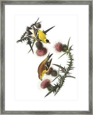 American Goldfinch Framed Print by John James Audubon