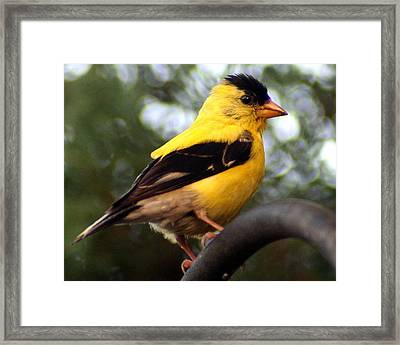 Framed Print featuring the photograph American Goldfinch by Laurel Talabere