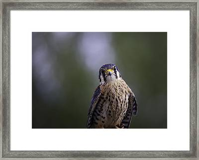 American Kestrel Framed Print by Richard Lee