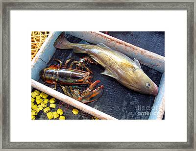 American Lobster And Cod Caught Off Chatham On Cape Cod Framed Print by Matt Suess