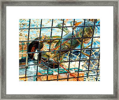 American Lobster In Trap In Chatham On Cape Cod Framed Print