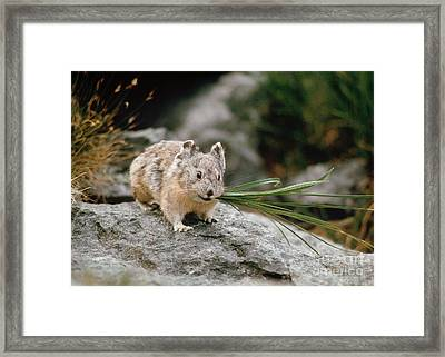 Framed Print featuring the photograph American Pika by Doug Herr