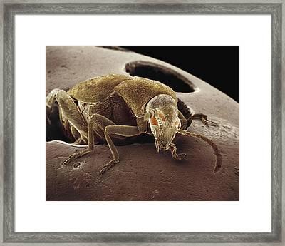American Seed Beetle Sem Framed Print by Albert Lleal