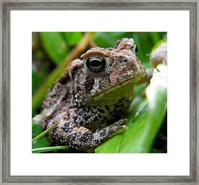 American Toad Framed Print by Griffin Harris