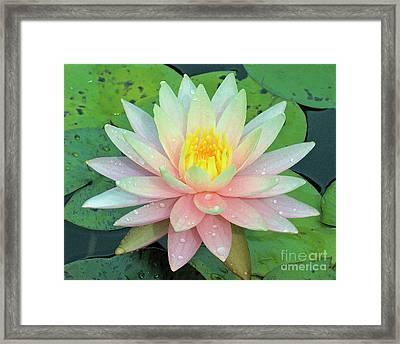 American Water Lilies Nine Framed Print by J Jaiam