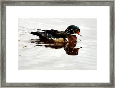 American Wood Duck Framed Print by Melodie Douglas