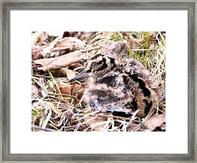 American Woodcock Chick Framed Print by Angie Rea