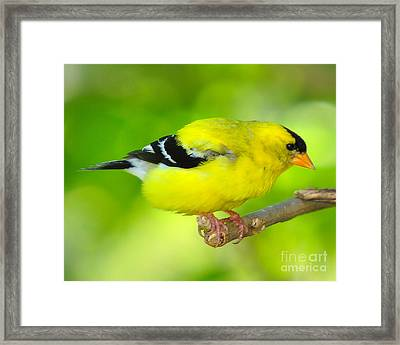 Framed Print featuring the photograph American Yellow Finch by Jack Moskovita