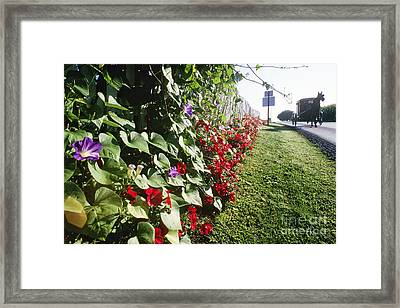 Amish Horse And Buggy On Flowered Country Road Framed Print by Jeremy Woodhouse