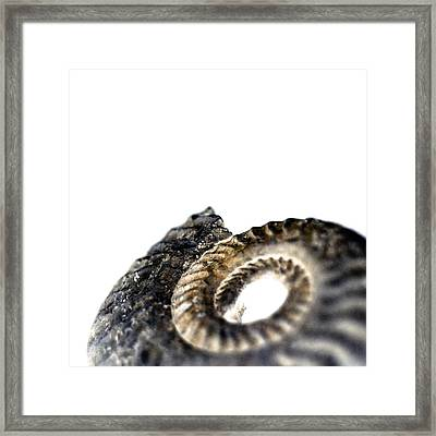 Ammonite Fossil Framed Print by Neal Grundy