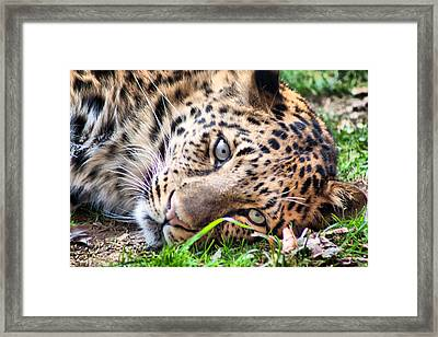 Framed Print featuring the photograph Amur Leopard by Lynne Jenkins