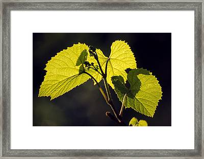 Amur River Grape Leaves (vitis Amurensis) Framed Print by Dr. Nick Kurzenko